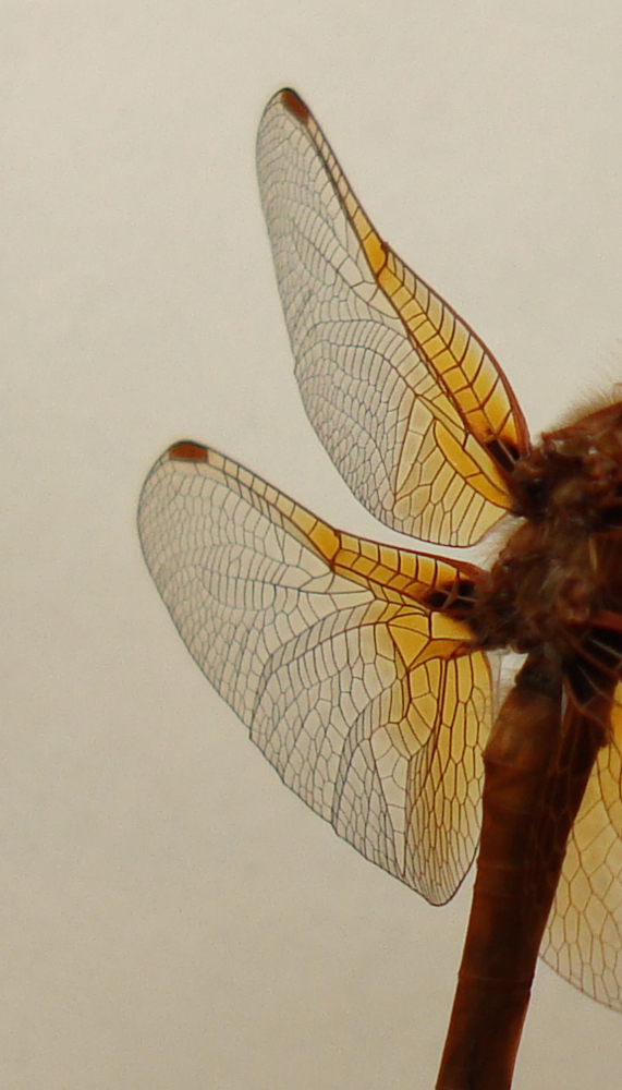 WING Stock - Dragon Fly 02 by Treeclimber-Stock