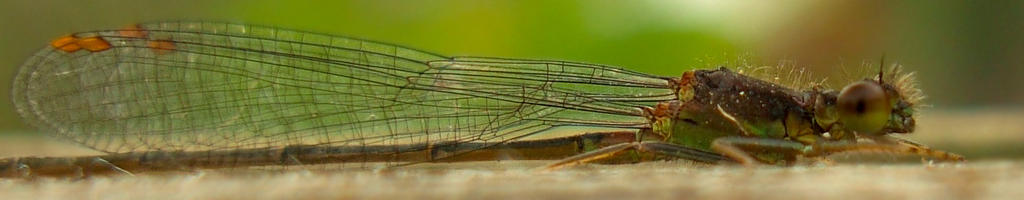 Damselfly by Treeclimber-Stock
