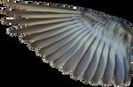 Pine Siskin Inner Wing 01