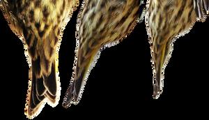Pine Siskin tail