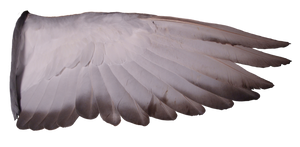 Pigeon Wing 02