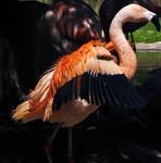 Flamingo Stock 0316