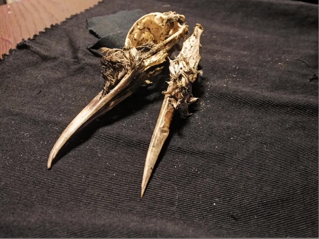 Bird Skull 03 by Treeclimber-Stock