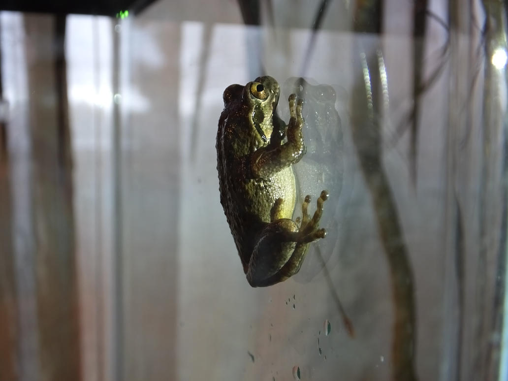 Pacific Chorus Frog 01 by Treeclimber-Stock