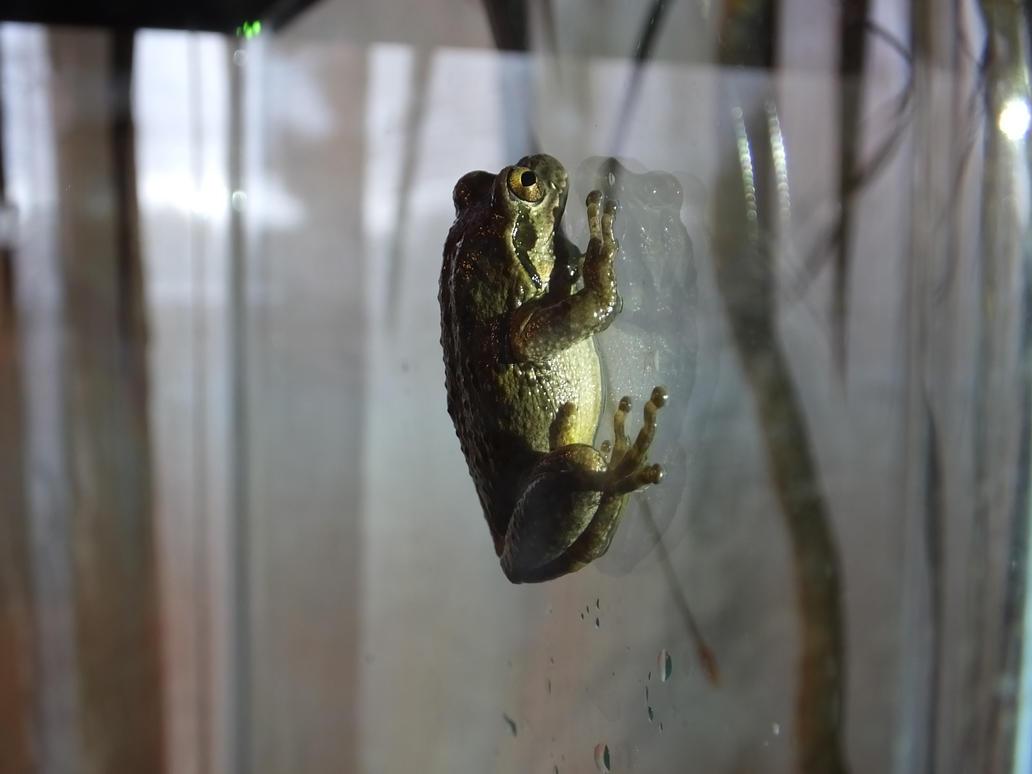 Pacific Chorus Frog 01 by Treeclimber-Stock