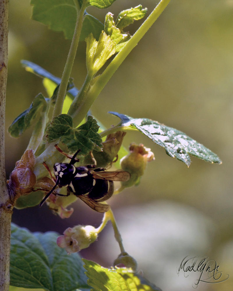Black Flower Wasp From Australia: Black Wasp And Blackcurrant Flowers By Madlynx On DeviantArt