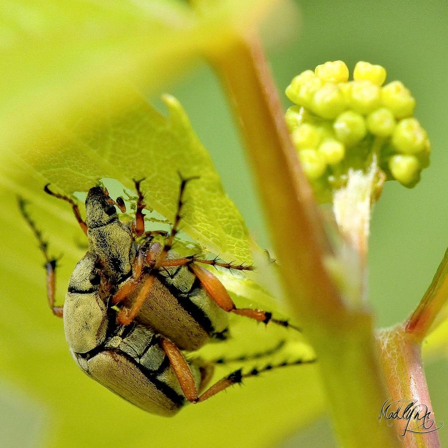 Macrodactylus subspinosus! by madlynx