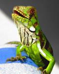 green iguana by Felipe-Coelho2