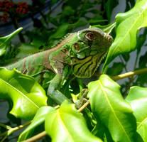 Baby iguana by Felipe-Coelho2