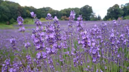 Lavender by Crusadier