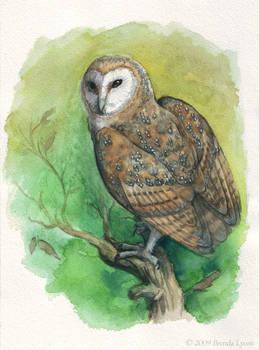 Barn Owl - Study - Revised