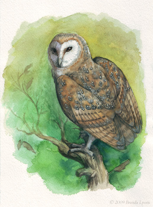 Barn Owl - Study - Revised by windfalcon