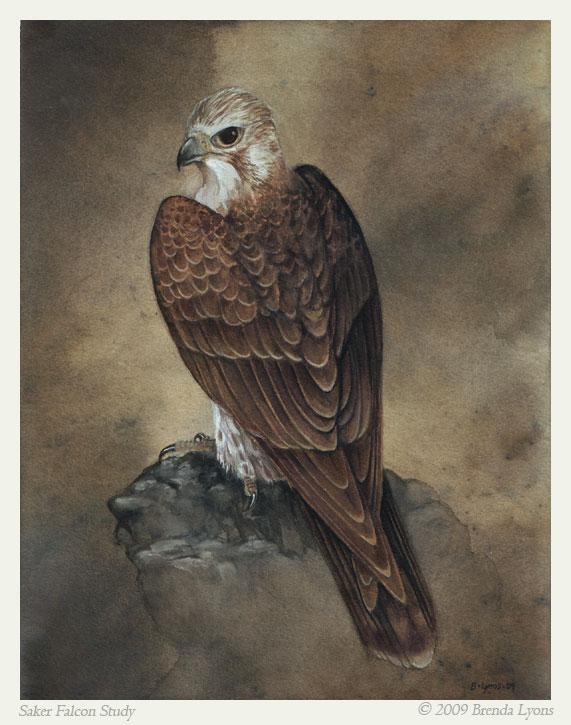 Saker Falcon - Study by windfalcon