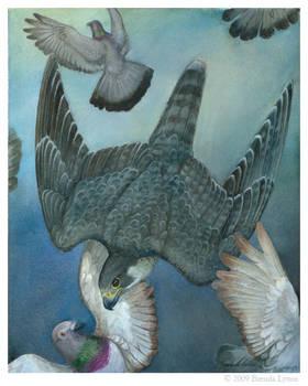 Peregrine Falcon - Study
