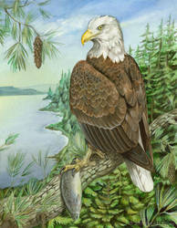 Thesis - Bald Eagle by windfalcon