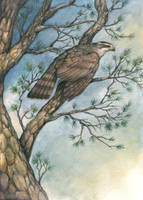 Goshawk in the Pines