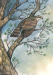 Goshawk in the Pines