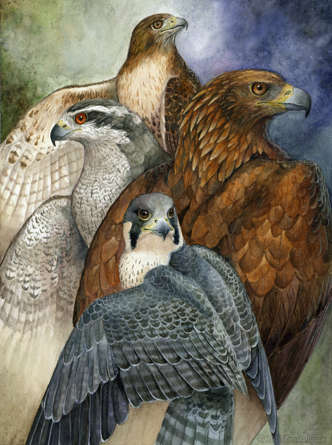 Four North American Raptors by windfalcon