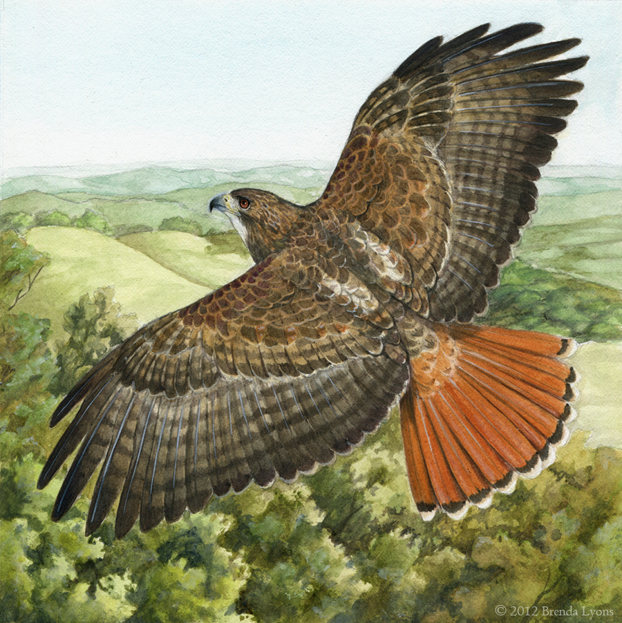 Red tailed hawk by windfalcon on deviantart - Red tailed hawk wallpaper ...