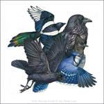 North American Corvids