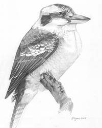 Kookaburra Sketch by windfalcon