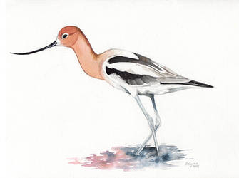 American Avocet by windfalcon