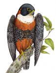 Orange-Breasted Falcon