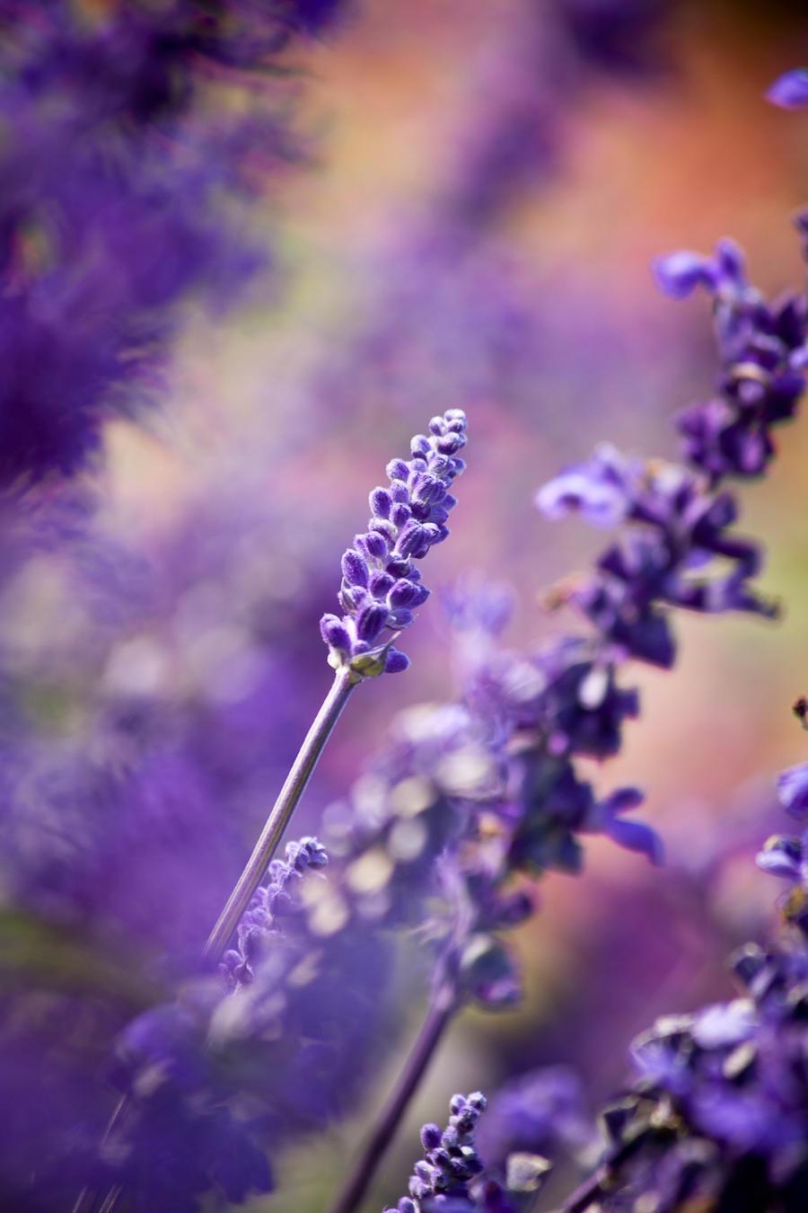 lavender by anja-B