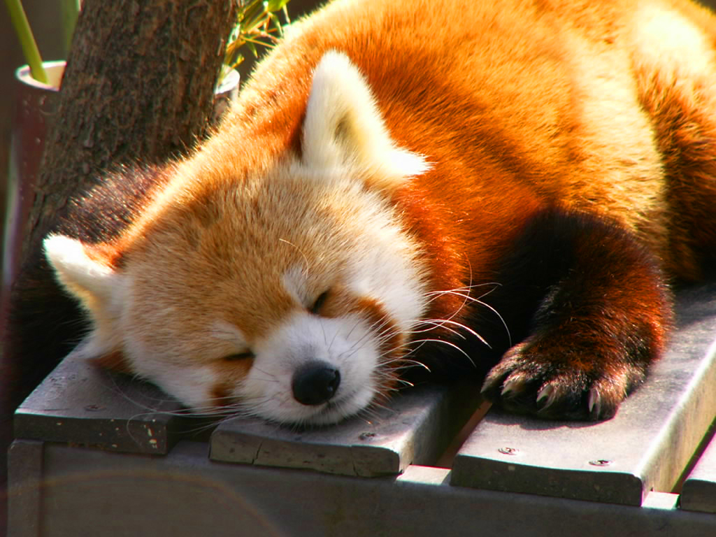 Red Panda - Panda Rojo by Davidevp