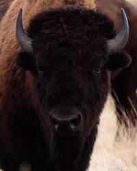 Native American Bison16