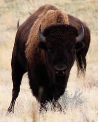 Native American Bison18