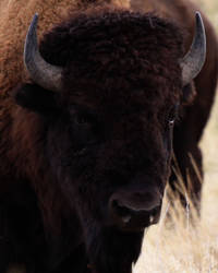 Native American Bison 20