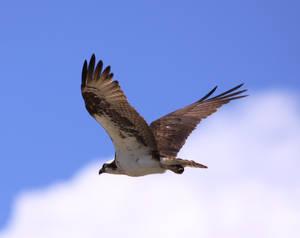 Osprey21