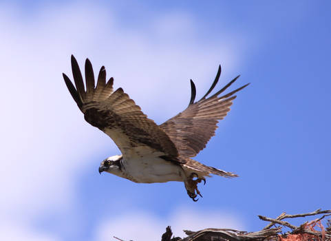 Osprey22