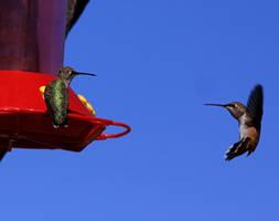 Hummingbird29