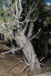 Old Tree 001