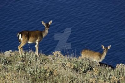 Fallow deers dama dama FD11 image