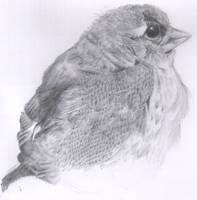 Sparrow Fledgling by sphijk