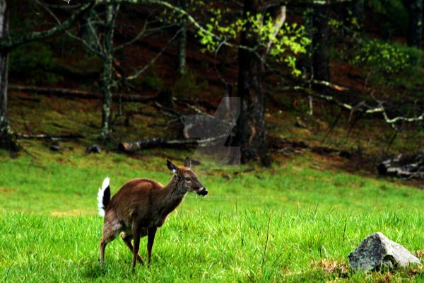 blue-deer-pee