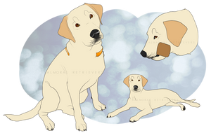 Dixie: UD by Balmoral-Retrievers