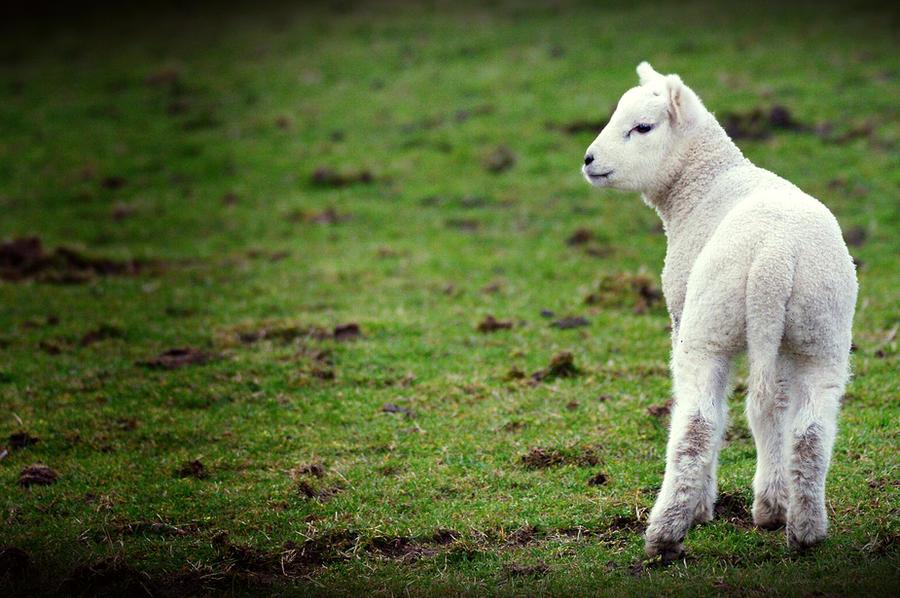 Lamb stock by ha-rat-kiri