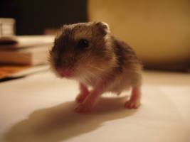 Hamster Ruso 2 by quinti