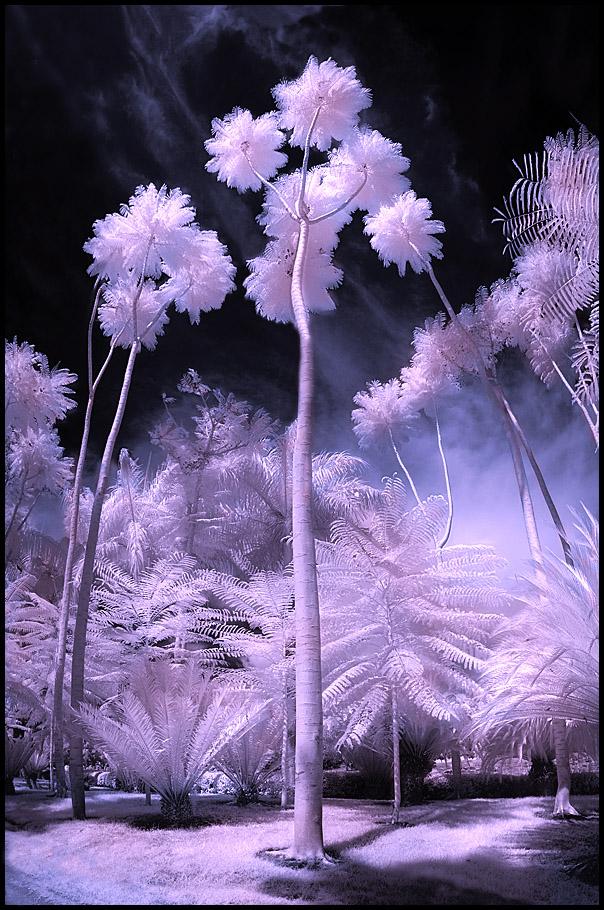 Palm Trees infrared...