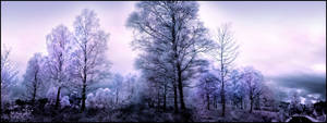 Birch Trees Pano Infrared...