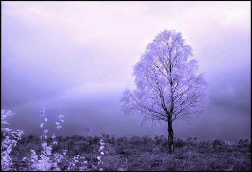 Birch Tree Infrared...