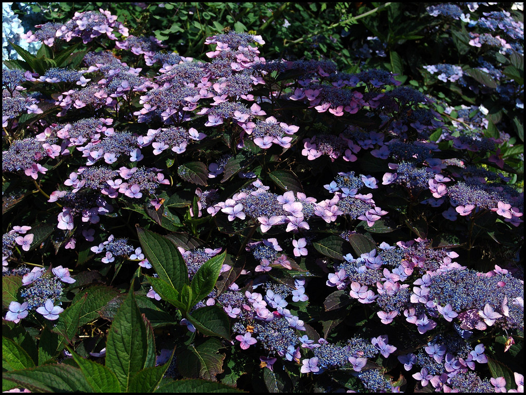 Hydrangea Hortensia Bluebird by MichiLauke