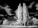 Cottonwood Trees II infrared