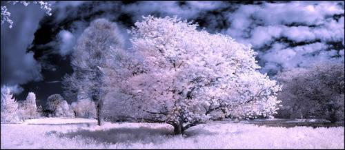 Cherry Blossom Tree infrared by MichiLauke
