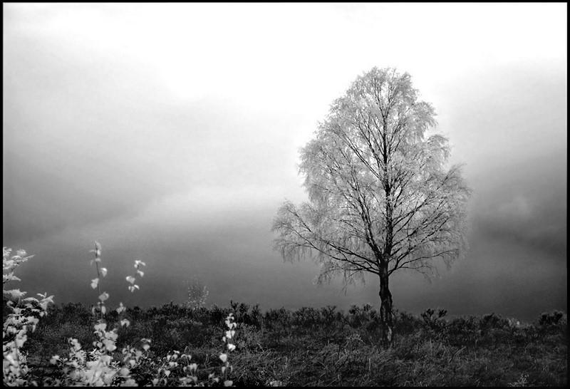 Birch Tree b+w infrared... by MichiLauke