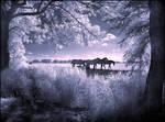 Horses infrared...